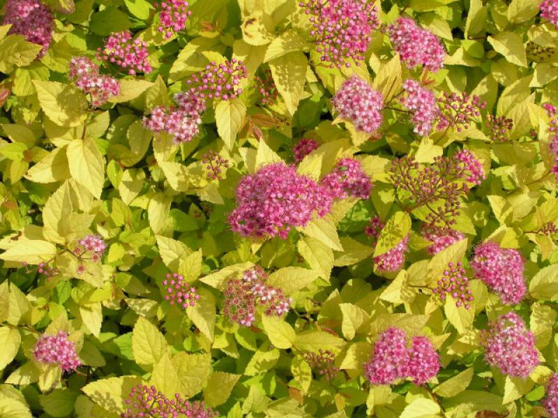 Spiraea japonica Golden Princess
