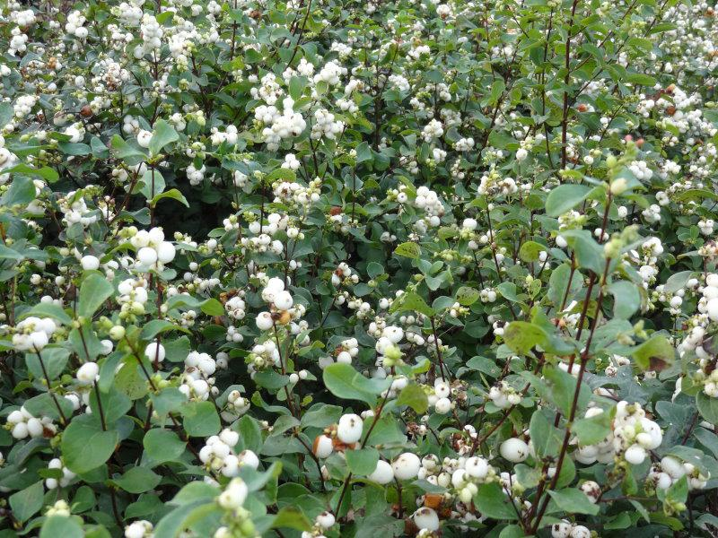 Symphoricarpos albus White Hedge