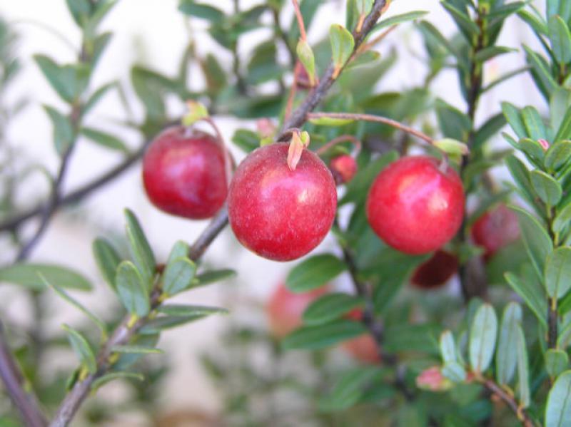 Etwas Neues genug Cranberry, Großfrüchtige Moosbeere, Amerik. Moosbeere, Vaccinium @MN_63