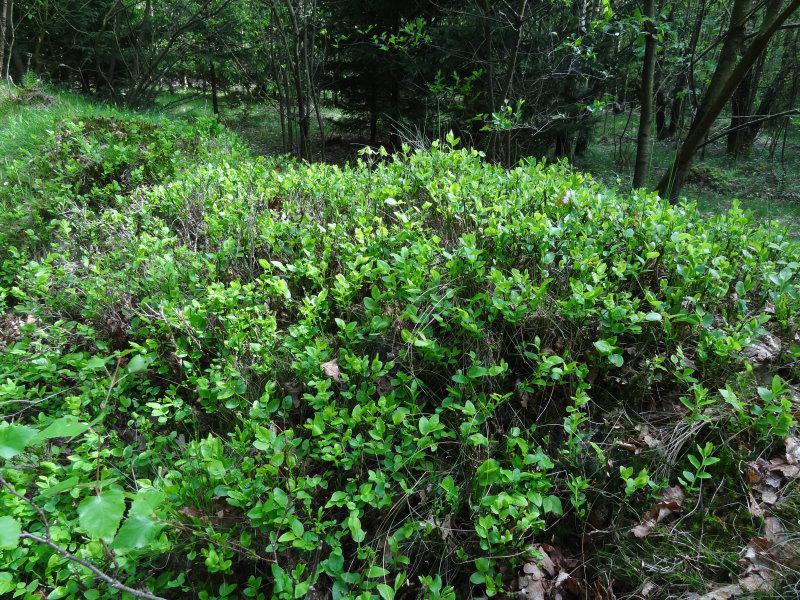 Beliebt Bevorzugt Wilde Heidelbeere und Blaubeere (Vaccinium myrtillus) in unserem @HF_07