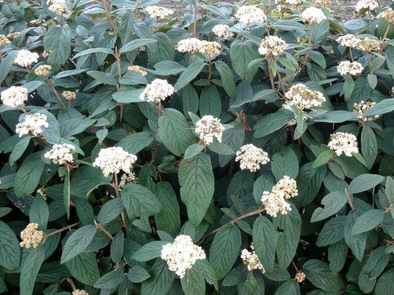 Immergrüner Zungen Schneeball 80-100cm Viburnum rhytidophyllum