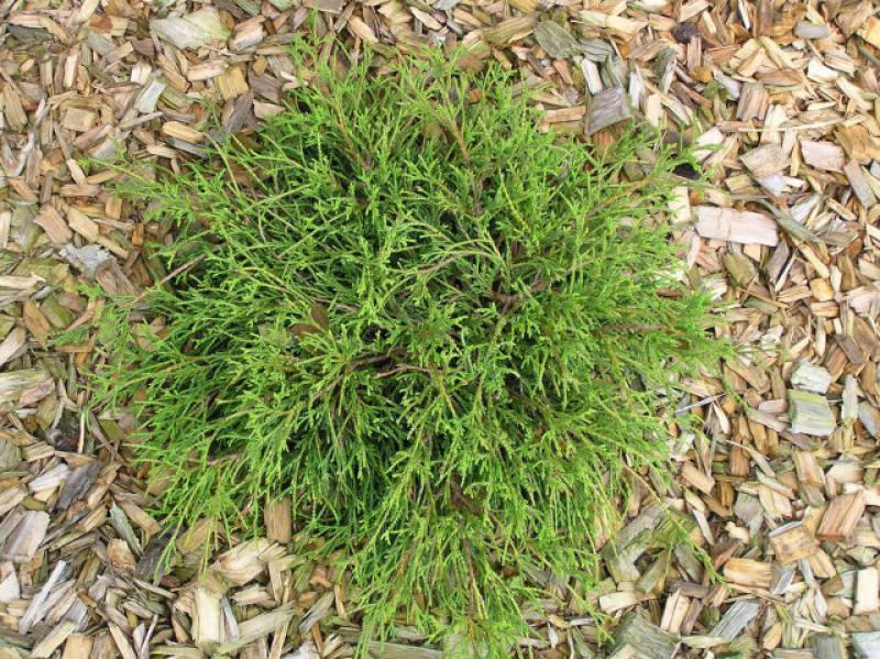 Chamaecyparis pisifera Filifera Nana Grüne Zwergfadenzypresse Filifera Nana