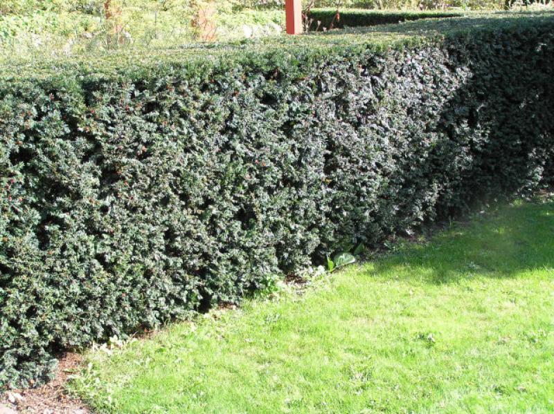 70 Stück Taxus Baccata Eiben Heckenpflanze  für eine immergrüne  Hecke 20-30 cm
