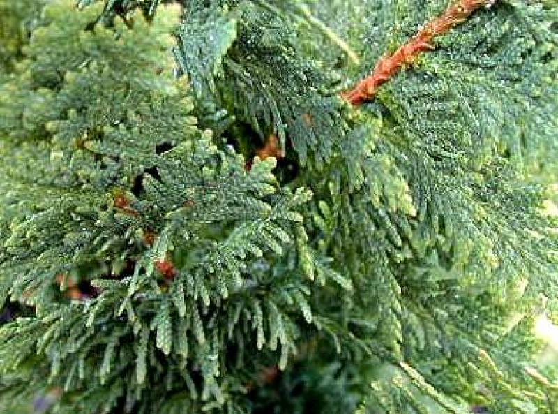 Thuja occidentalis Spiralis