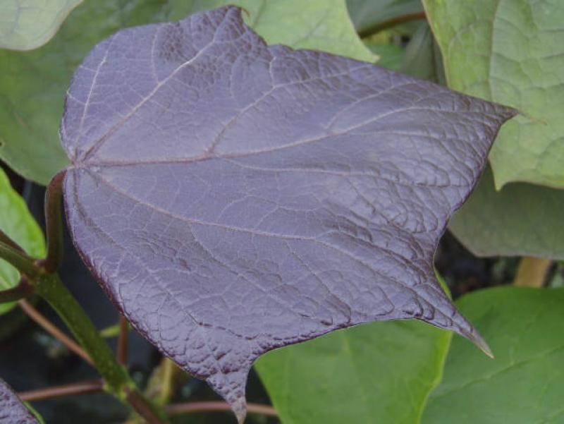Purpurkatalpa, Catalpa erubescens Purpurea