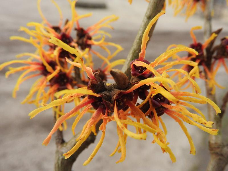 Gelborange Blüte Zaubernuss Orange Beauty