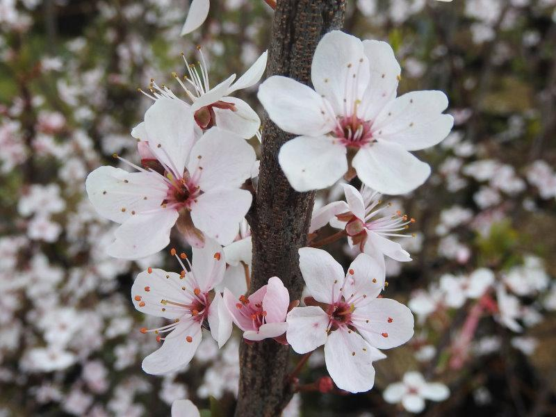 Prunus spinosa Purpurea