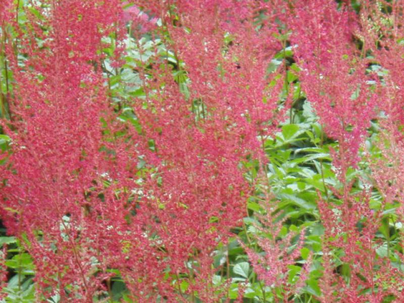 .Astilbe japonica Red Sentinel