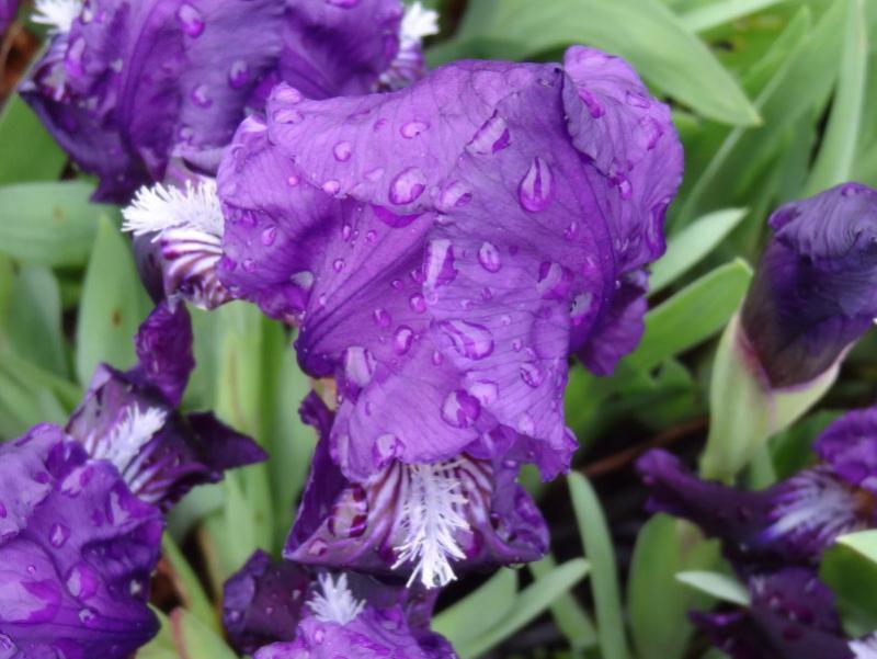 Iris B. N. Petite Polka Blau-Weisse Zwerg-Schwertlilie Pflanze im 9x9cmTopf