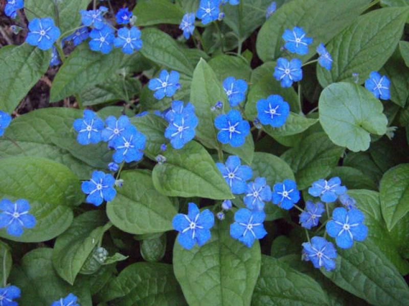 Omphalodes verna in Blüte