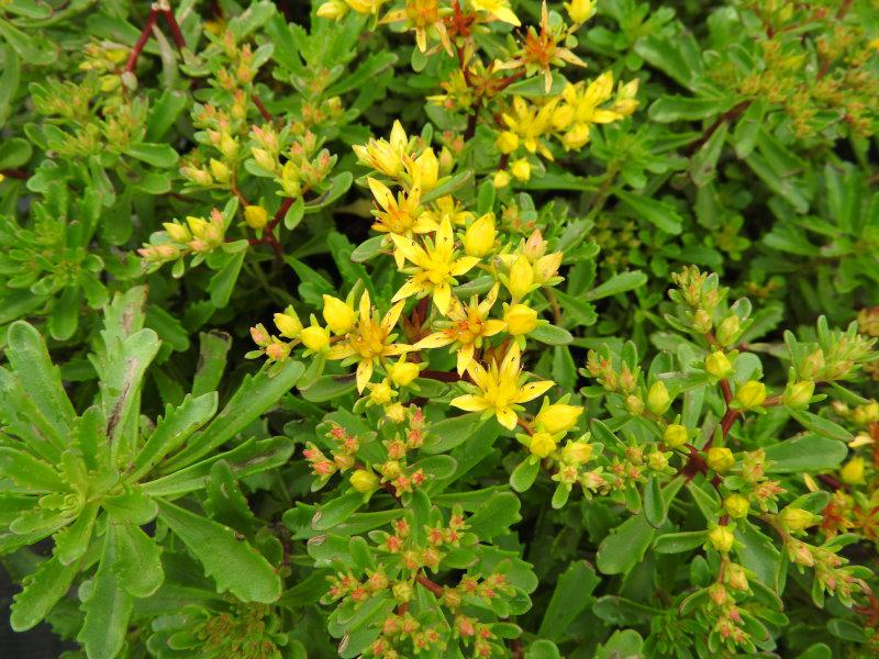 .Sedum floriferum Weihenstephaner Gold
