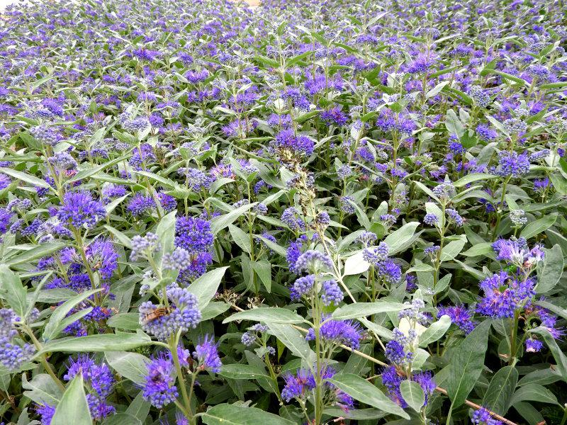Caryopteris clandonensis Heavenly Blue