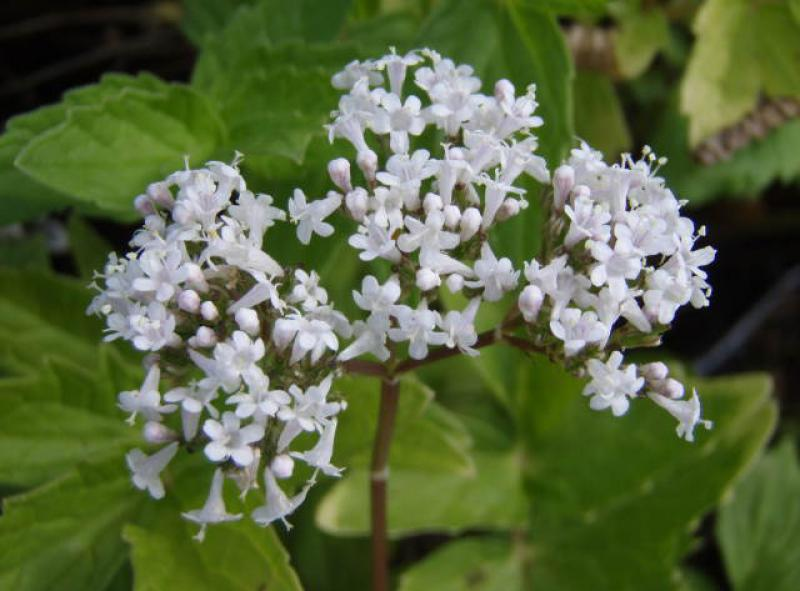 .Valeriana officinalis