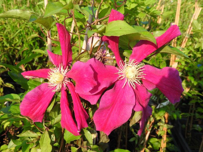 Clematis Sunset - rote Blüten