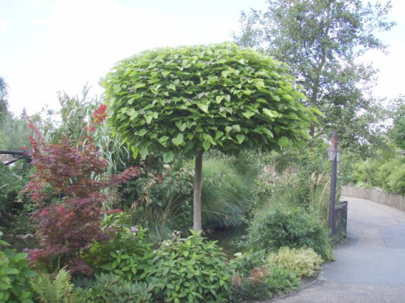 Noni-Blätter werden verwendet, um Gewicht zu verlieren