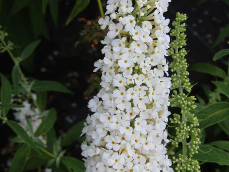 Buddleja Dart's Ornamental White