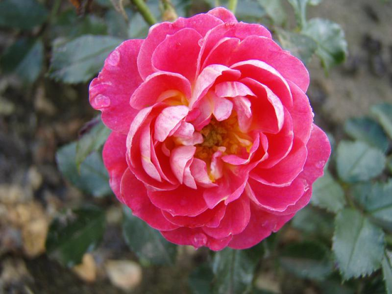 Die Rose Charmant ®