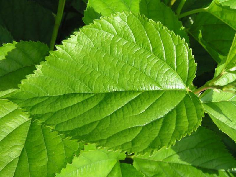 Winterharte Pflanze 40-60cm Morus alba lecker Früchte Weißer Maulbeerbaum