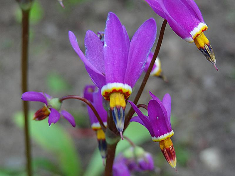 Dodecatheon in Blüte