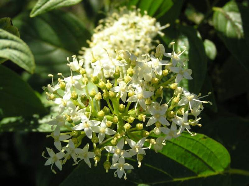 "Gelbholz Hartriegel Cornus sericea /""Flaviramea/"" 60//100 cm"