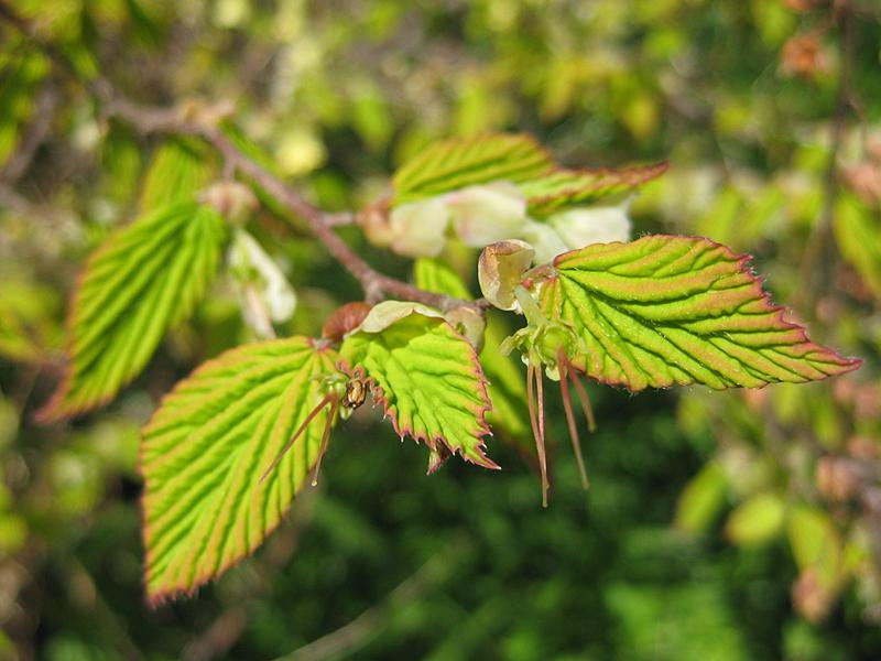 Corylopsis pauciflora niedrige Scheinhasel Glockenhasel