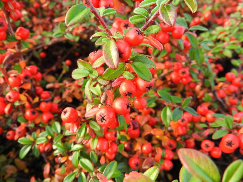 Roter Fruchtschmuck - Cotoneaster dammeri Coral Beauty