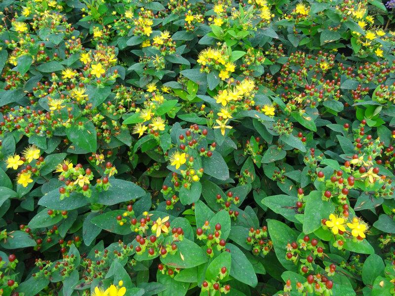 Hypericum Excellent Flair - Wuchsform