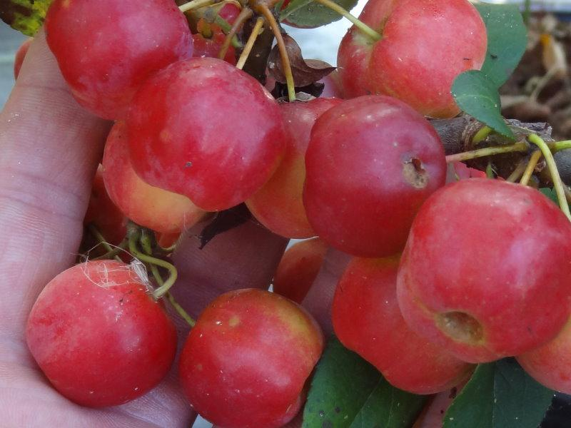 Malus Evereste Früchte im September