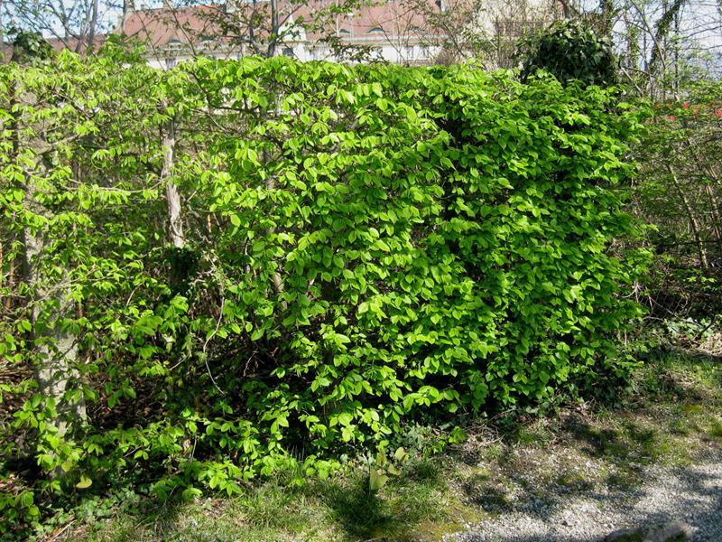 Gemeinsame Hainbuchen (Carpinus betulus) - Heckenpflanzen kaufen in der #VZ_71
