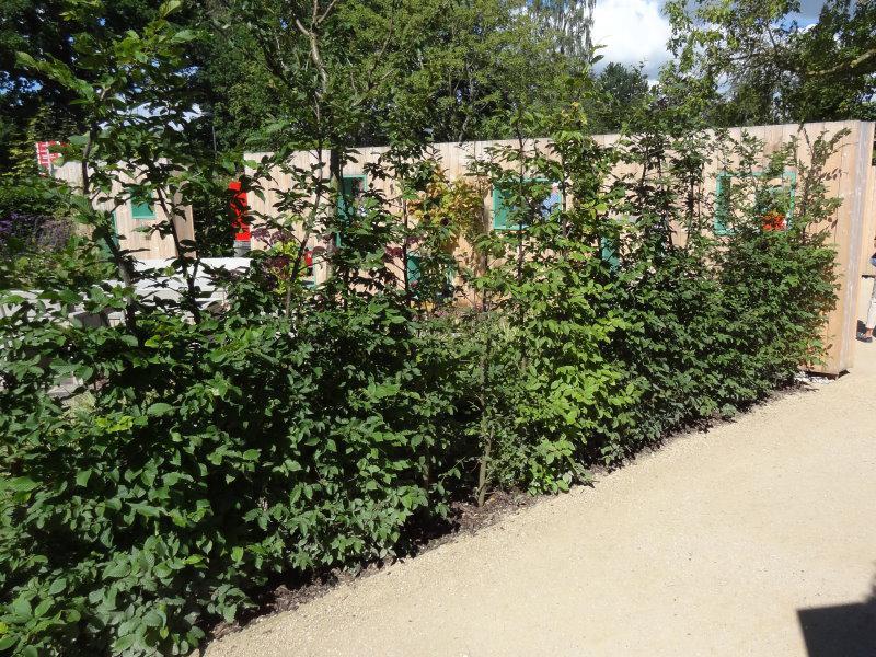 Ganz und zu Extrem Hainbuchen (Carpinus betulus) - Heckenpflanzen kaufen in der &JZ_98