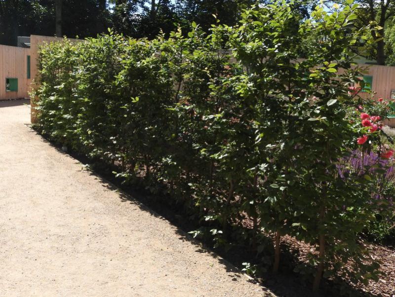 Prächtig Hainbuchen (Carpinus betulus) - Heckenpflanzen kaufen in der &NY_68