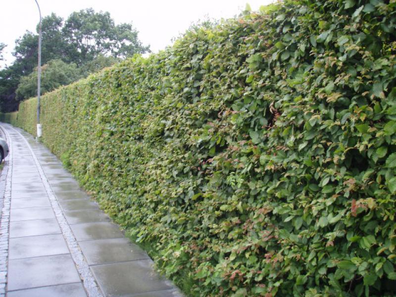 Beliebt Bevorzugt Hainbuchen (Carpinus betulus) - Heckenpflanzen kaufen in der &VI_79