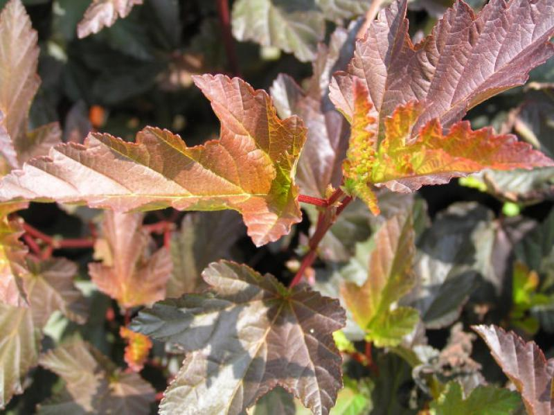 Physocarpus opulifolius Diable d'Or ®