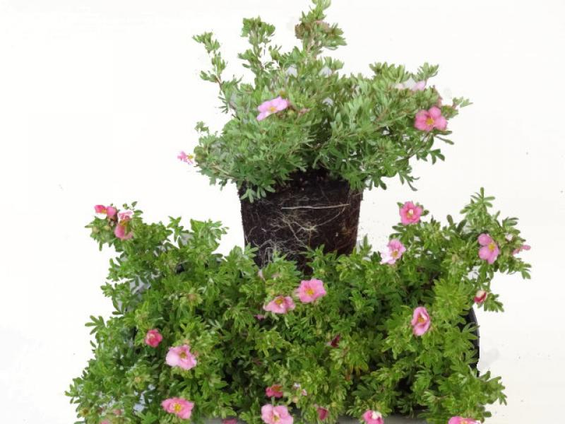 Potentilla fruticosa Lovely Pink ®