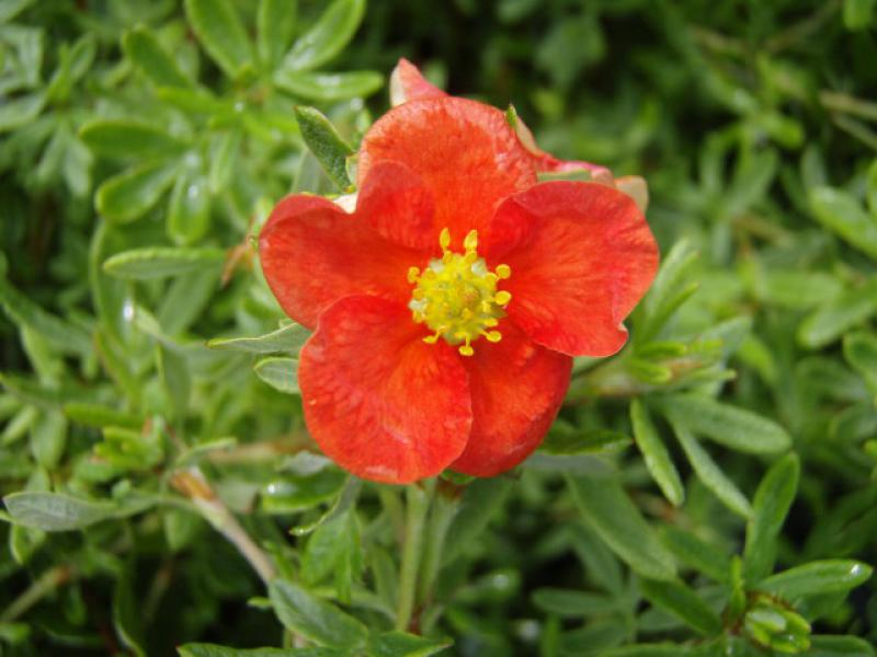 Röd ölandstok Red Robin, Potentilla fruticosa Red Robin