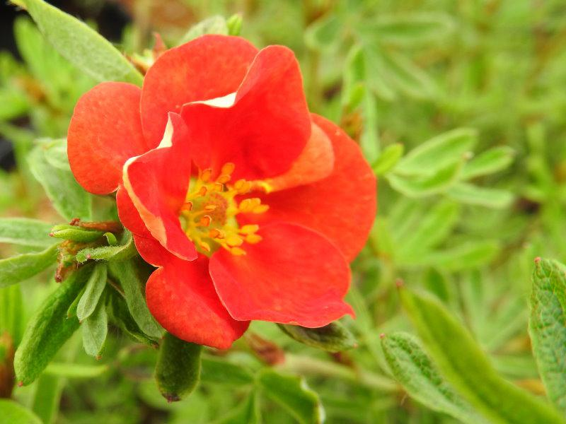 Potentilla fruticosa Red Robin®