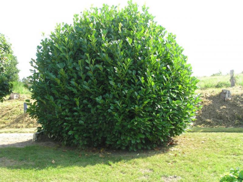 Berühmt Kirschlorbeer Rotundifolia, Prunus laurocerasus Rotundifolia im #GY_76